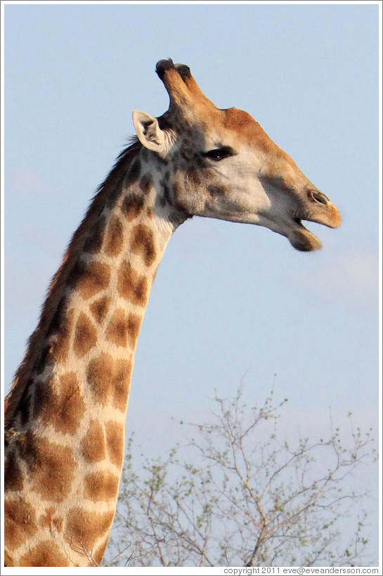 Home > Bushlands and Animals, South Africa > Giraffe with open mouth.