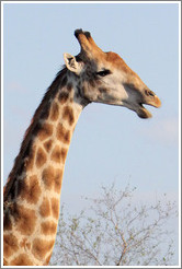 Giraffe with open mouth.