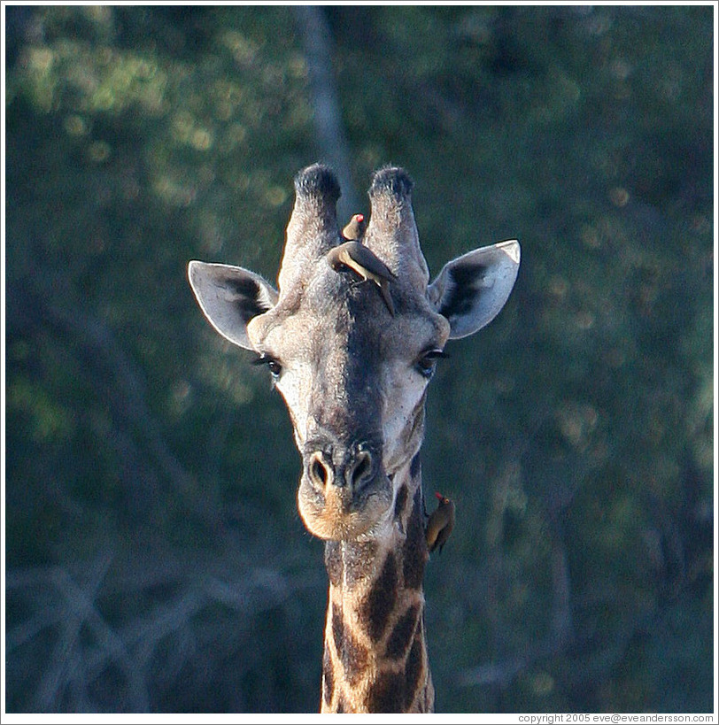 Giraffe with multiple birds on neck and head.