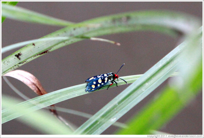 Blue insect with yellow spots and a red head.