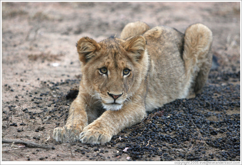 Lion cub resting in impala dung.