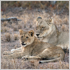 Lioness and lion cub.  Cub has is just finishing a yawn.