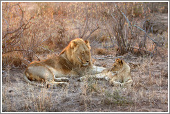 Lion and cub in the morning light.