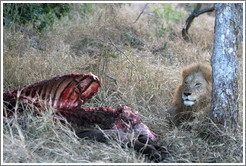 Lion guarding buffalo carcass the morning after a hunt.