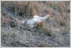 Lioness resting with full belly the morning after a hunt.