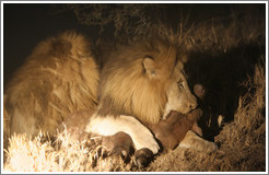 Lions eating baby buffalo at night.