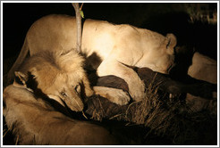 Lions eating buffalo at night.