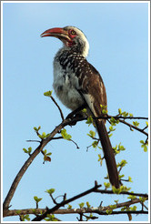 Red-billed Hornbill.