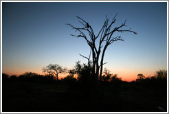 Sunset on the African savannah, with silhouette of owl in tree.