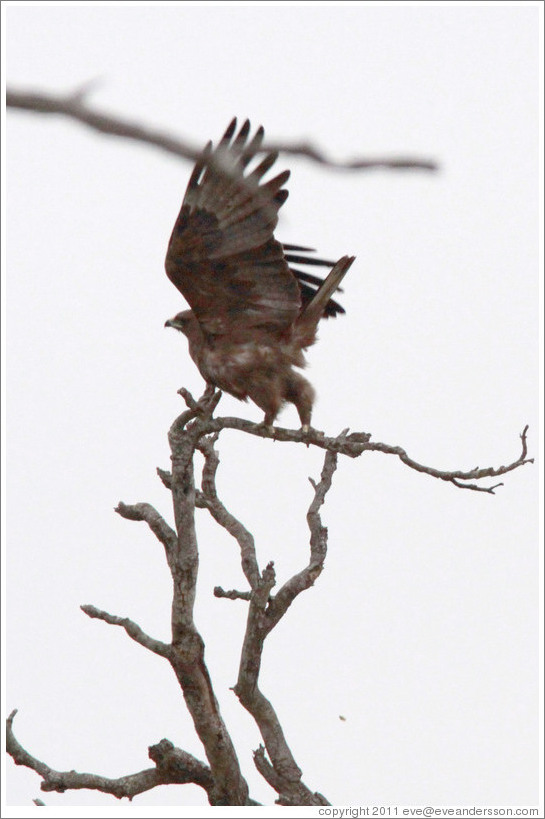 Wahlberg's Eagle (Aquila wahlbergi) taking off.