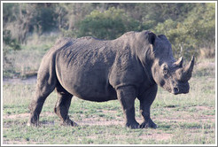White rhinoceros.