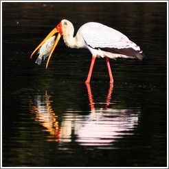 Yellow-billed stork (Mycteria ibis) eating fish.