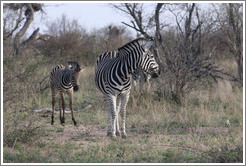 Adult and young zebra.