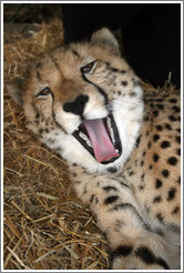 Cheetah yawning at the Cheetah Outreach Program at Spier Winery.