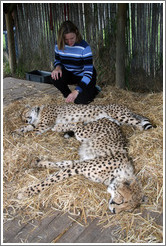 Eve petting cheetahs at the Cheetah Outreach Program at Spier Winery.