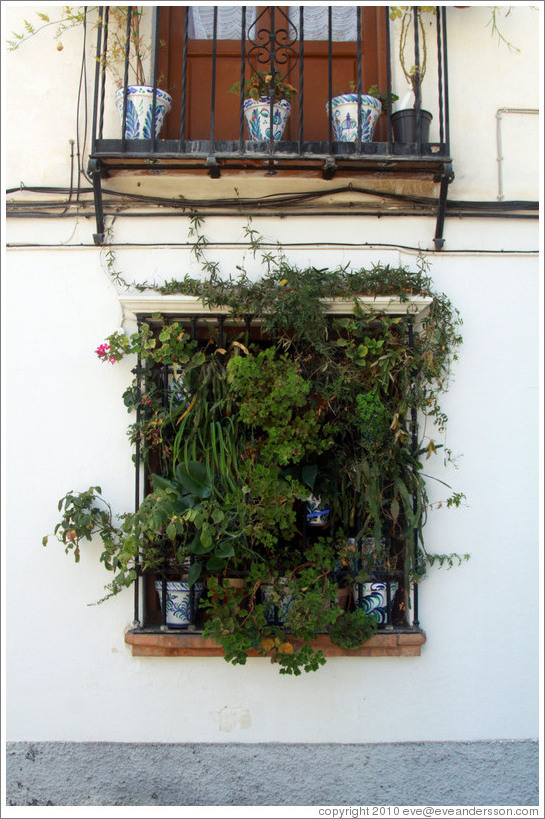 Window covered with plants. Veredilla de San Agust�n, Albaic�n.