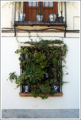 Window covered with plants. Veredilla de San Agust? Albaic?