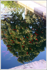 Fish in a pond and a reflected tree, Parador de San Francisco, Alhambra.