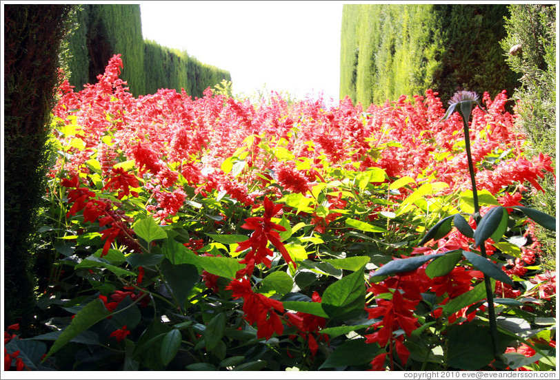 Red flowers, Generalife gardens.