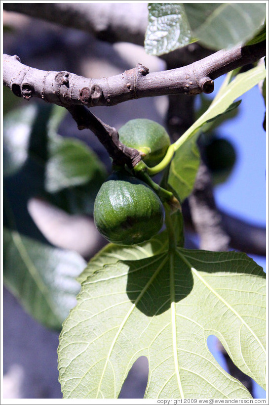 Figs growing on a tree.  Nig?elas, Granada province.