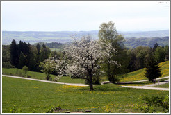 Blossoming tree and rolling mountaintop fields.