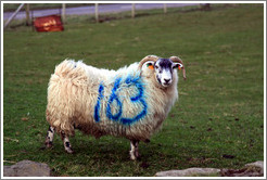 "Sheep with ""163"" painted on its side.  Causeway Road and Feigh Road."