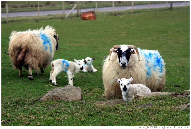 Sheep painted with numbers.  Causeway Road and Feigh Road.