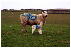 "Sheep with ""80"" painted on their sides.  Causeway Road and Feigh Road."