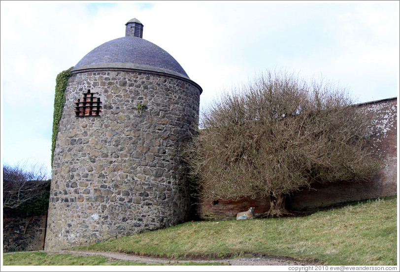 Dovecote and Icehouse and a sheep under a tree, Walled Garden, grounds of the Mussenden Temple.