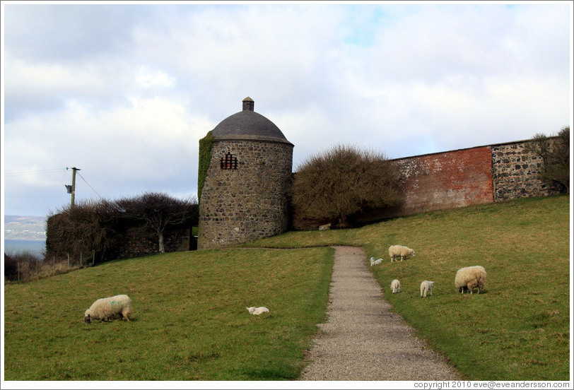 Sheep in front of the Dovecote and Icehouse, Walled Garden, grounds of the Mussenden Temple.