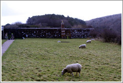 Sheep in the Walled Garden, grounds of the Mussenden Temple.