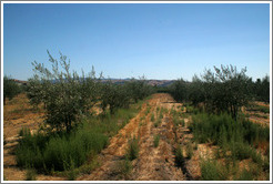 Olive trees.  Arroyo Windmill Groves.