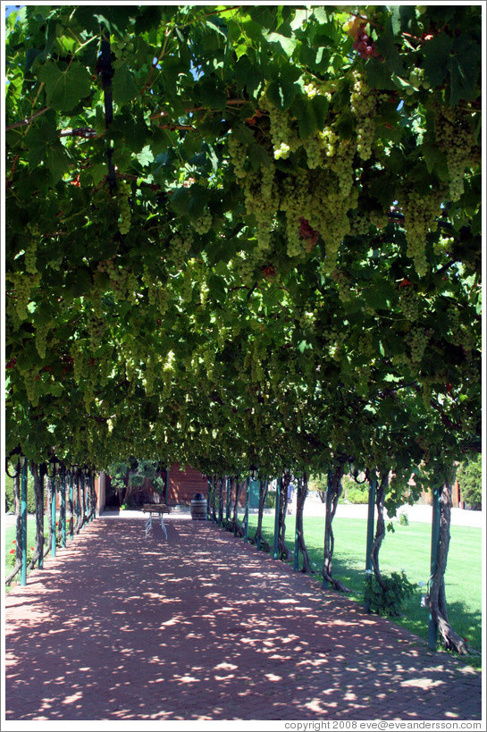 Vine-covered walkway.  Concannon Vineyard.
