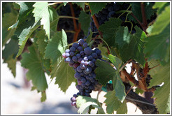 Grapes.  The Stephen Kent Winery.