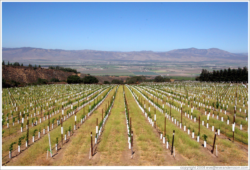 Young vineyard. Hahn Estates Winery.