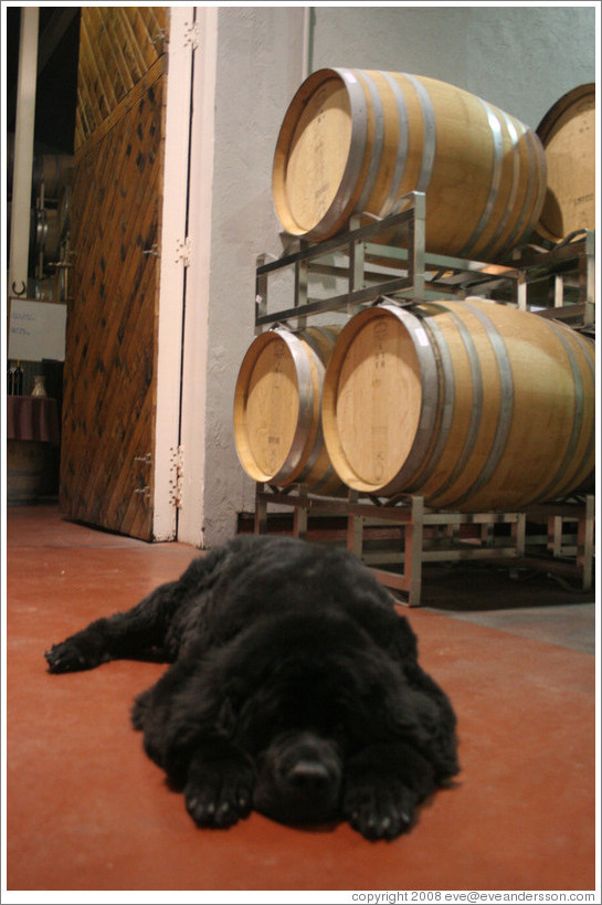 Stormy the Newfoundland, in front of barrels.  Benessere Vineyards.