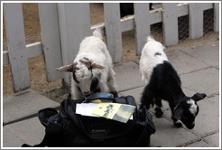 Baby goats exploring my camera bag on the grounds of Old Faithful Geyser of California.