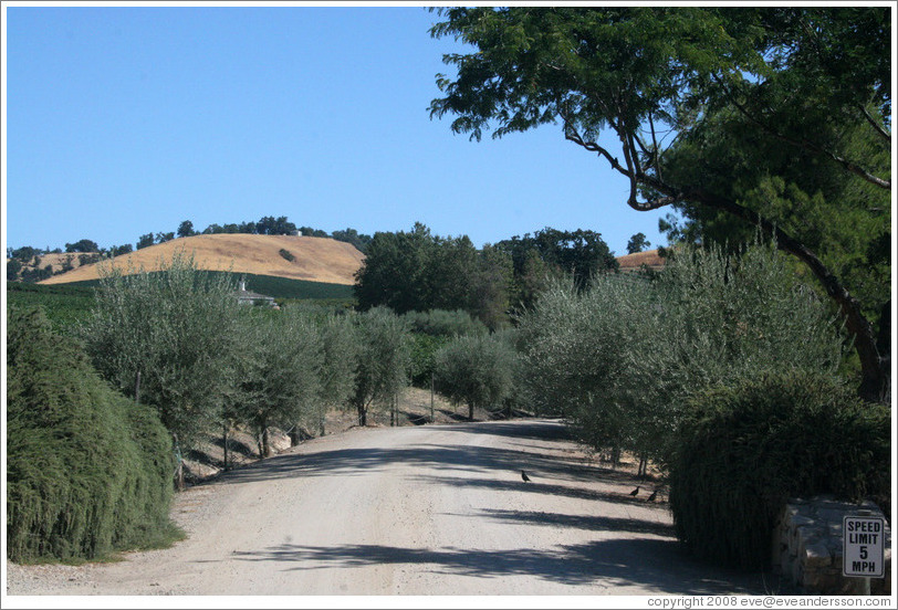 Olive tree-lined driveway.  Carmody McKnight Estate.