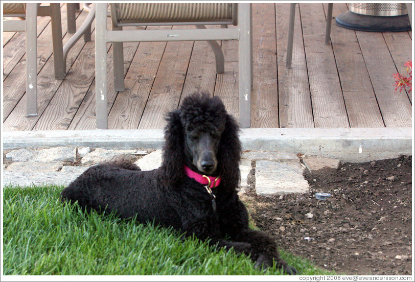 Poodle named Cabernet.  Eberle Winery.