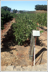 California Sprawl trellis system.  Cabernet Sauvignon Clone 8.  Justin Vineyards and Winery.