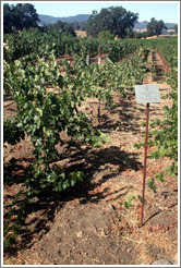 Head Trained trellis system (or lack thereof).  Cabernet Sauvignon Clone 8.  Justin Vineyards and Winery.