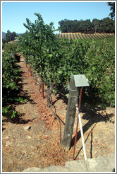 Sass Branco Sunburn Barrier IV trellis system.  Cabernet Sauvignon Clone 8.  Justin Vineyards and Winery.