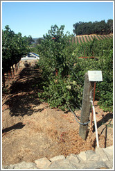 Scott Henry trellis system.  Cabernet Sauvignon Clone 8.  Justin Vineyards and Winery.