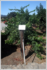 Smart Dyson trellis system.  Cabernet Sauvignon Clone 8.  Justin Vineyards and Winery.