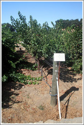 U or Lyre trellis system.  Cabernet Sauvignon Clone 8.  Justin Vineyards and Winery.
