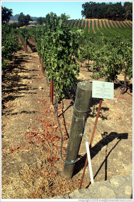 Vertical Shoot trellis system.  Cabernet Sauvignon Clone 8.  Justin Vineyards and Winery.