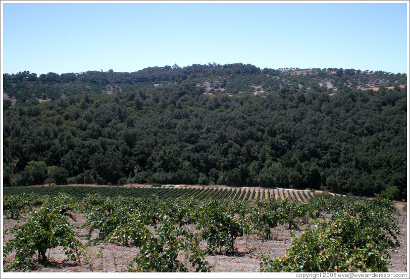 Zinfandel vineyard.  Minassian-Young Vineyards.