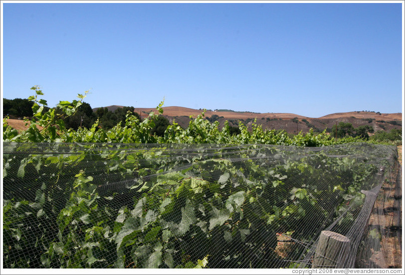 Vines, protected from deer using nets.  Alma Rosa Winery and Vineyards.