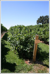 Head Train and Spur Prune trellis system.  Cabernet Sauvignon.  Gainey Vineyard.