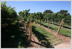 Narrow T trellis system.  Chardonnay.  Gainey Vineyard.